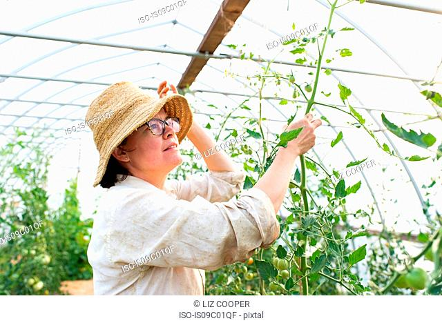 Mature female gardener looking at tomato plants in polytunnel