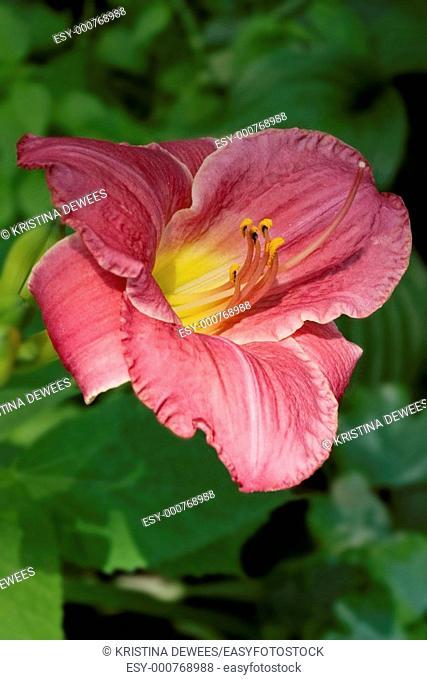 A light pink daylily wiht a bright yellow eye