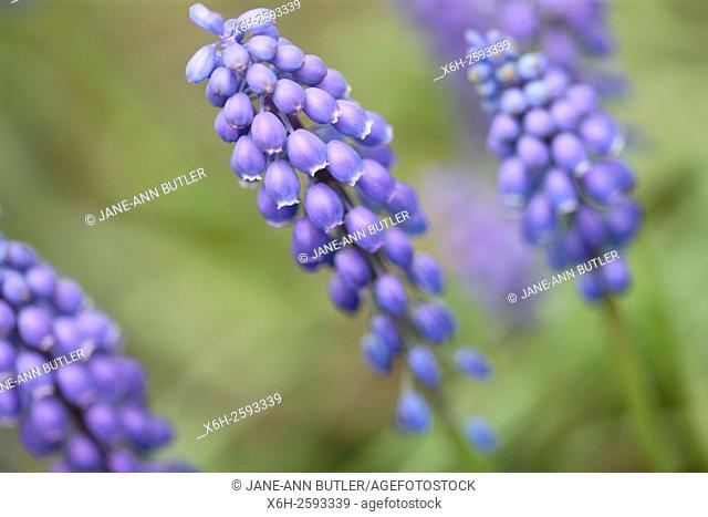 early giant, muscari - distinctive bell-shaped flowering spike of early spring colour