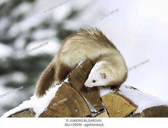 ferret on stack of logs
