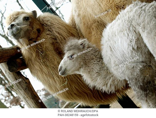 The Bactrian camel offspring stands next to its mother Sammy in their enclosure at the zoo in Gelsenkirchen, Germany, 13 March 2013