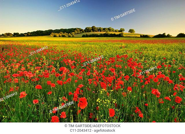 wild poppies, field, Kent, England, UK,