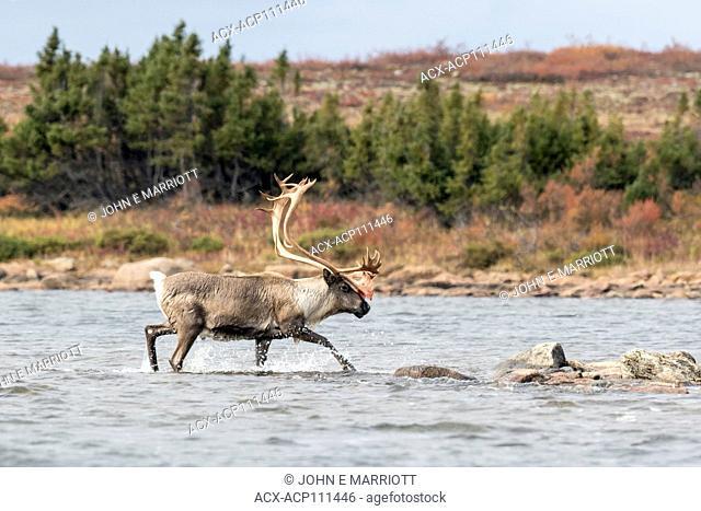 Barrenground caribou, Nunavut, Canada