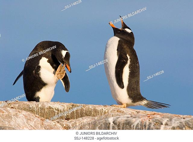 two gentoo penguins - standing on rock / Pygoscelis papua