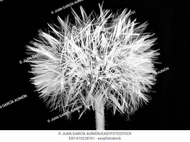 Dandelion ball over black background. Black and white shot