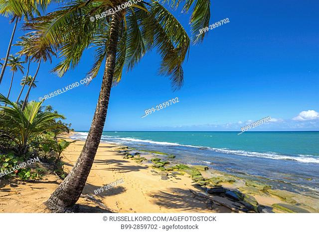 PALM TREE PLAYA PINONES BEACH LOIZA PUERTO RICO