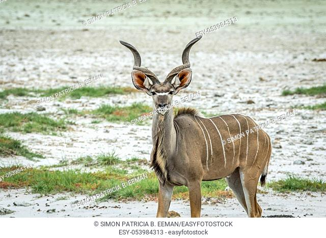 Male Kudu starring at the camera in the Etosha National Park, Namibia