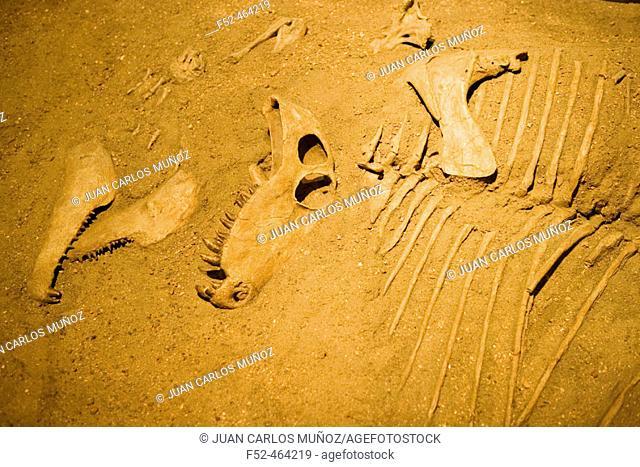Dimetrodon. Royal Tyrrell Museum of Paleontology. Drumheller. Alberta. Canada