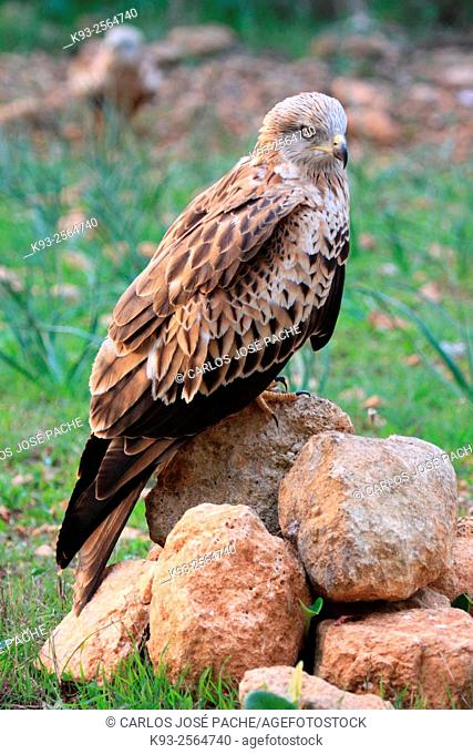 Red kite (Milvus milvus). Serra de Tramuntana. Mallorca, Balearic Islands, Spain
