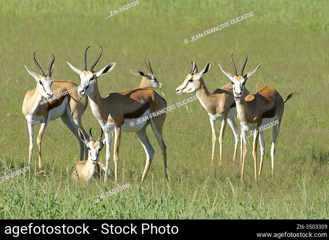 Springboks (Antidorcas marsupialis), five adult females, standing in the grassland with one lying male, Kgalagadi Transfrontier Park, Northern Cape