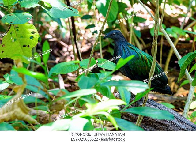 Nicobar pigeon, Nicobar dove or Caloenas nicobarica are birds that live on the island, Shooting in a forest on Koh Miang in Mu Koh Similan National Park