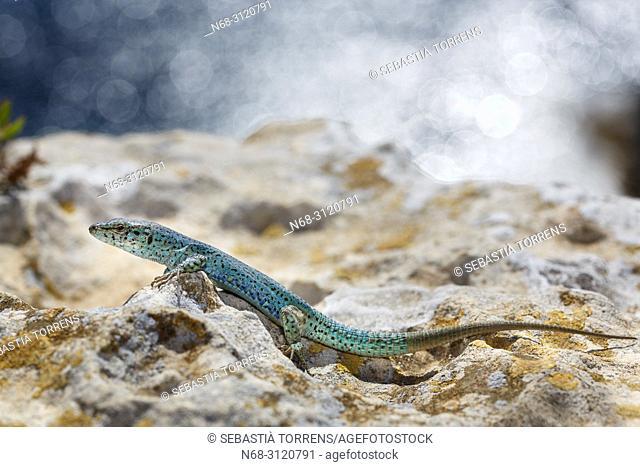 Ibiza wall lizard, Podarcis pityusensis formenterae, Formentera, Balearic Islands, Spain