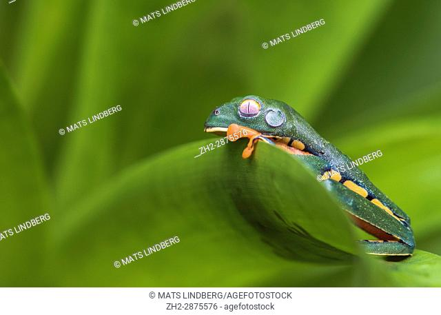 Splendid leaf frog, Cruziohyla calcarifer, climbing on a leaf,in rainforest, Laguna del Lagarto, Boca Tapada, San Carlos, Costa Rica