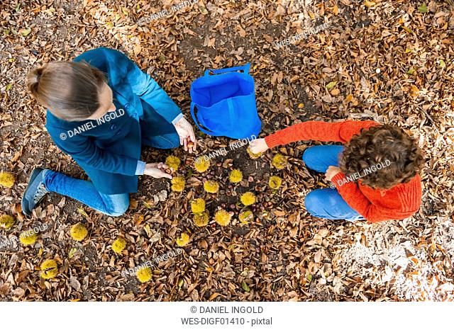 Top view of mother and son collecting sweet chestnuts in the forest
