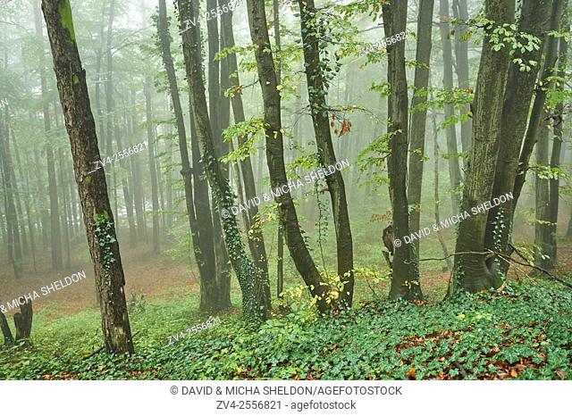 Landscape of a foggy forest with European beech (Fagus sylvatica) in autumn