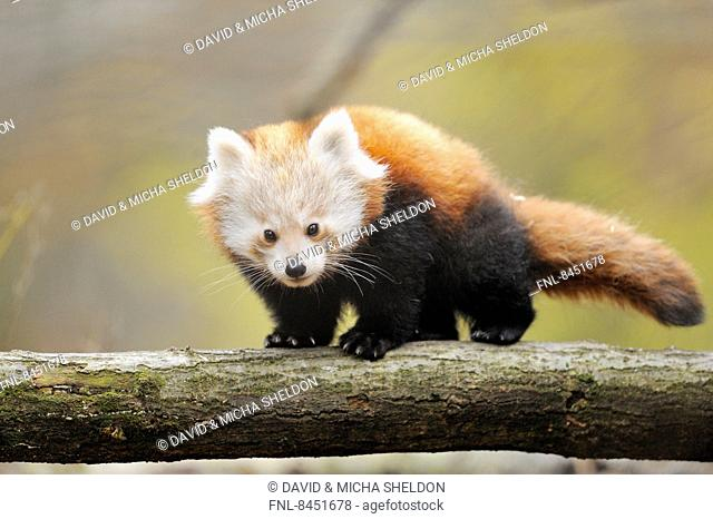 Red panda (Ailurus fulgens) youngster on a bough