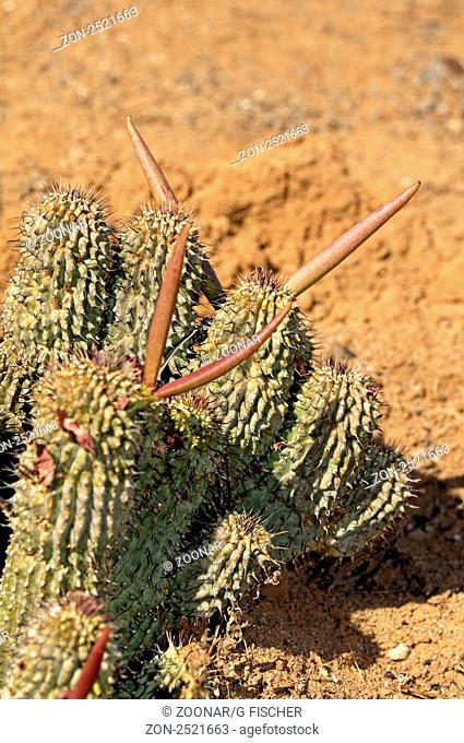 Hoodia gordonii mit Fruchtkapseln, Sukkulentengärtnerei Vanrhynsdorp, Western Cape, Südafrika / Hoodia gordonii with fruit capsules, Succulent nursery