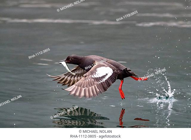 An adult pigeon guillemot (Cepphus columba), with captured fish in Inian Pass, Cross Sound, Alaska, United States of America, North America