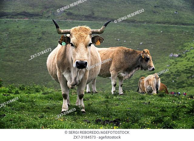 Cows in Covadonga lakes, Picos de Europa, Parque Nacional de los Picos de Europa, Asturias, Cantabria, Spain, Europe. One of the stops of the Transcantabrico...