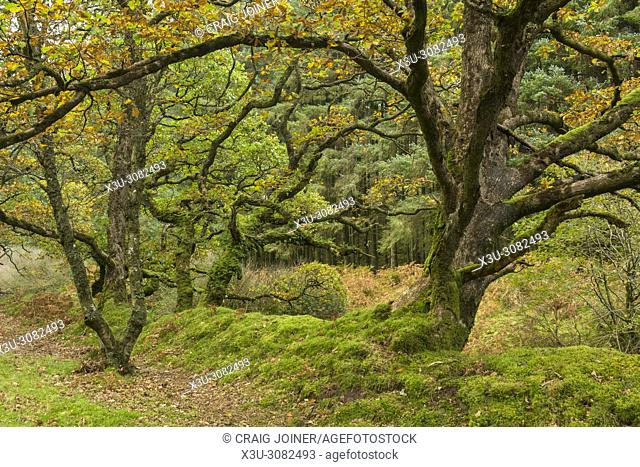 Badgworthy Wood in the Doone Valley in autumn on the Devon and Somerset boarder in Exmoor National Park, England