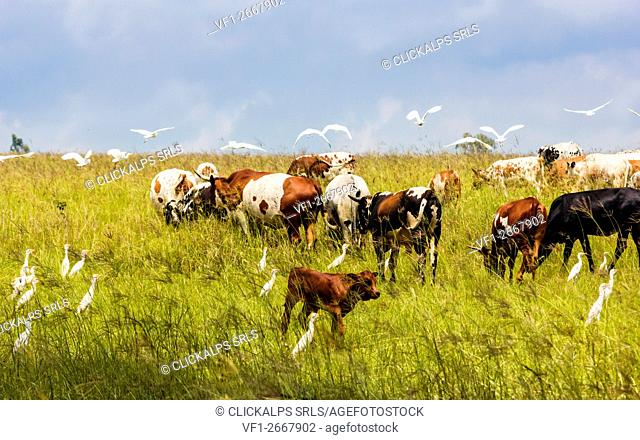 Cattle, Monaghan farm, Lanseria, Province of Gauteng, Republic of South Africa. Nguni cows and egret birds