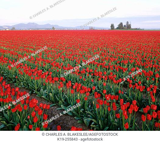 Tulip field in spring. Skagit County. Washington. USA