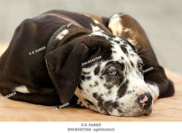 mixed breed dog (Canis lupus f. familiaris), ten weaks old Great Dane Perro de Presa Canario mixed breed whelp lying on a dog pillow, Germany