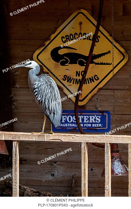 White-faced heron / white-fronted heron (Egretta novaehollandiae) perched on porch of house, native to New Zealand and Australia