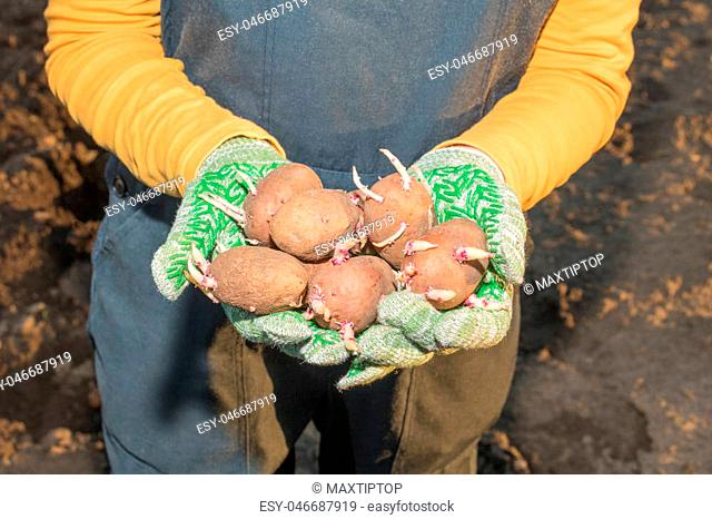 Planting potatoes, a man holding potatoes in his hands