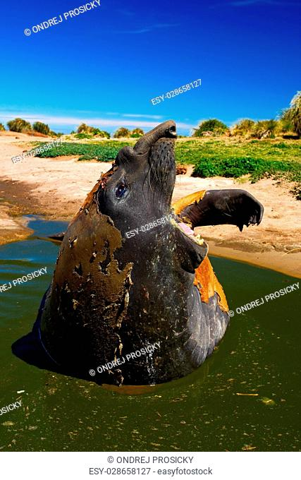 Female of Elephant seal lying in water pond