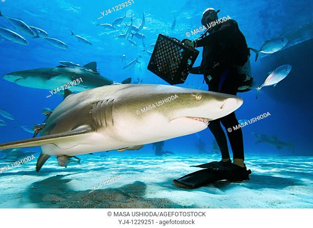 scuba diver with shark baits, lemon sharks, Negaprion brevirostris, and blue runner jacks, Grand Bahama, Bahamas, Caribbean Sea, Atlantic Ocean