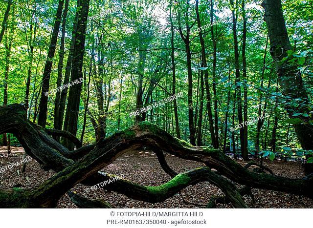 Ancient forest of Sababurg, Reinhardswald, Kassel district, Hesse, Germany / Urwald Sababurg, Reinhardswald, Landkreis Kassel, Hessen, Deutschland