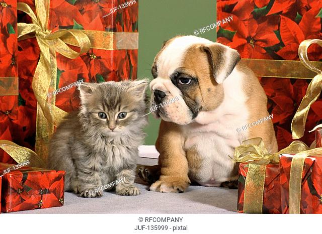 English Bulldog - puppy - and kitten in between gifts