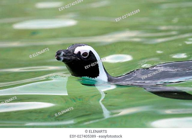 Head of humboldt penguin (Spheniscus humboldti) swimming in the water