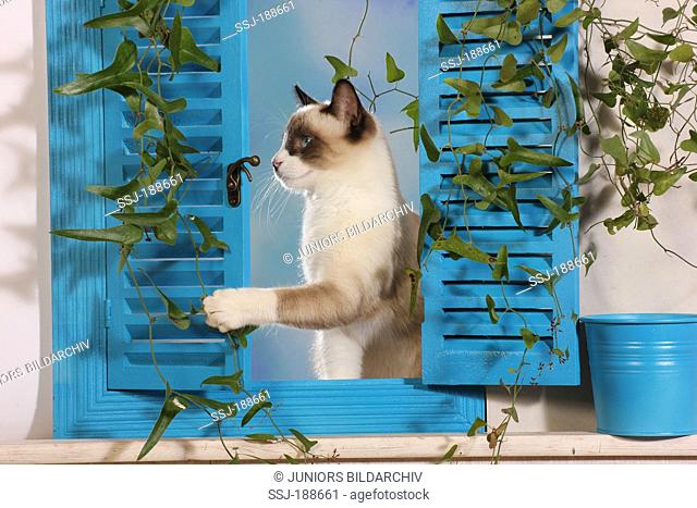 Domestic cat. Brown and white kitten (6 month old) in window with blue shutters. Spain