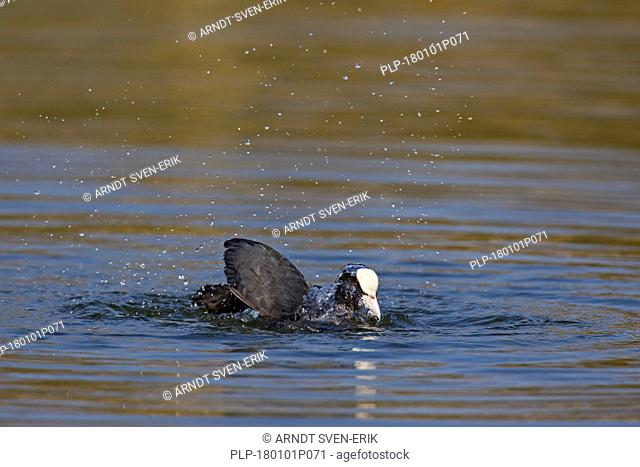 Eurasian coot (Fulica atra) bathing in pond to clean feathers