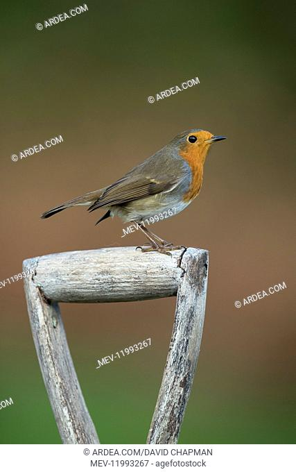 Robin - on Fork Handle - Cornwall - UK