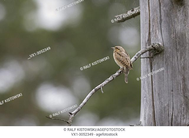 Eurasian Wryneck ( Jynx torquilla ) perched on a branch of a dead spruce tree, typical view on distance, in natural surrounding, wildlife, Europe