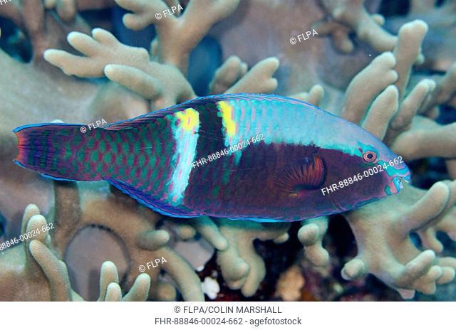Yellowbar Parrotfish (Scarus schlegeli), Anti-chovie Sea Mount dive site, Farondi Island, Misool, Raja Ampat (4 Kings), West Papua, Indonesia
