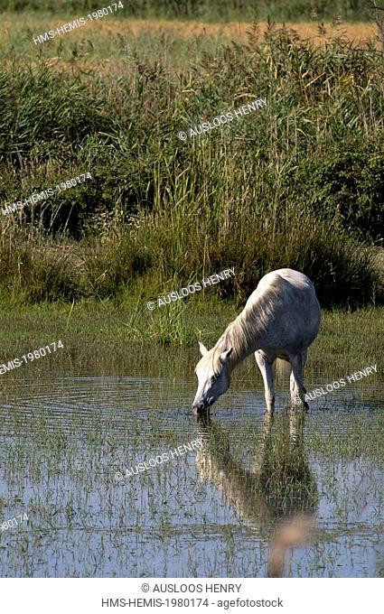 France, Camargue, Camargue horse (Equus caballus)