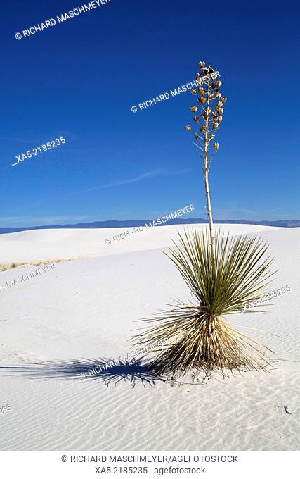 Yucca elata plant (foreground), White Sands National Monument, world's largest gypsum sand dunes field, New Mexico, USA