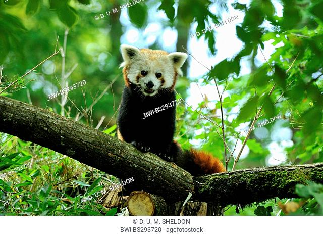 lesser panda, red panda (Ailurus fulgens), sitting on a trunk