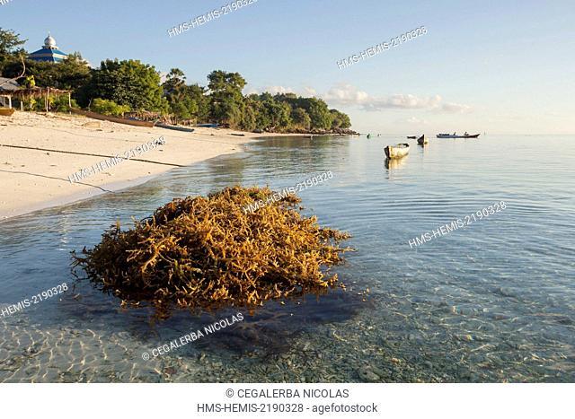 Indonesia, Lesser Sunda Islands, Alor archipelago, Kangge Island, seaweed Kappaphycus sp. for carrageenan just brought back in Kangge Island