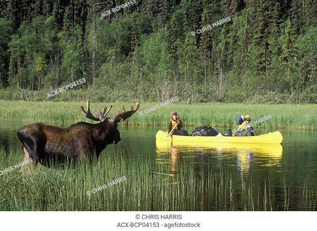 Bowron Lake Park, Moose and canoeists, British Columbia, Canada