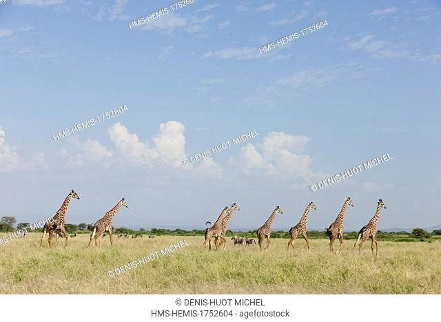 Kenya, lake Magadi, Girafe masai (Giraffa camelopardalis), herd moving