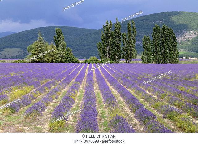 Europe, France, Provence, landscape, lavender, bloom, field, agriculture