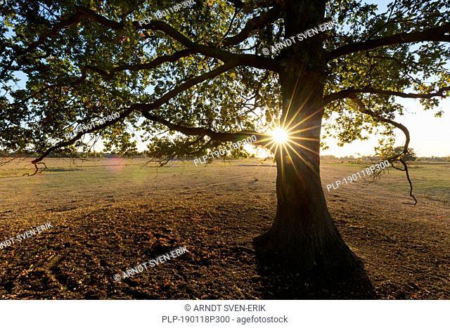 Sun shining behind solitary common oak / pedunculate oak / European oak / English oak tree (Quercus robur) at sunset in autumn