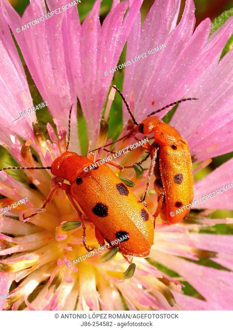 Pair of beetles (Leptopalpus rostratus) on flower (Centaurea pullata)