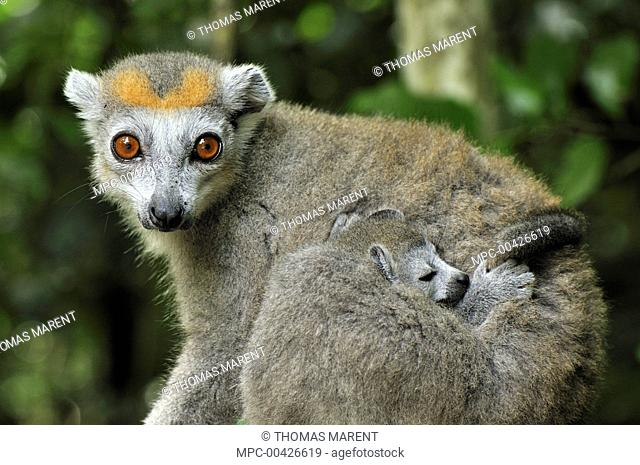 Crowned Lemur (Eulemur coronatus) female with sleeping baby, Ankarana Special Reserve, Madagascar