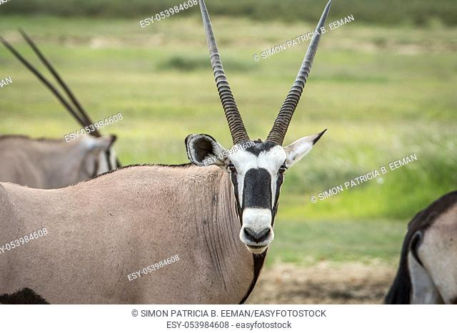 Oryx starring at the camera in the Kalagadi Transfrontier Park, South Africa